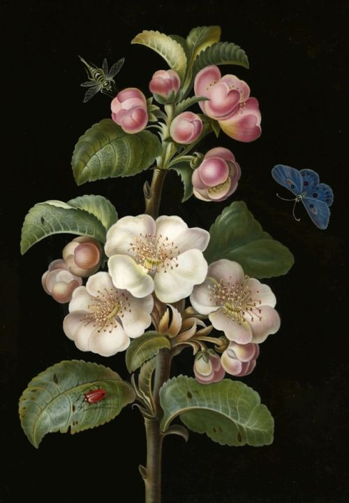 A sprig of Apple Blossom with various insects - Anonymous - 18th c. - viaThe British Museum