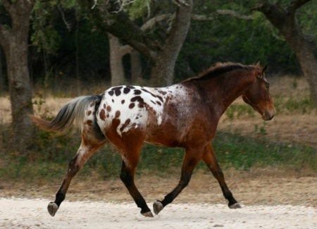 Appaloosa Horses for Sale | Spotted Trinity , Appaloosa Gelding in Texas