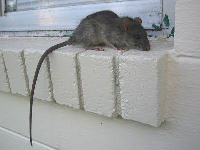 Roof Rat
