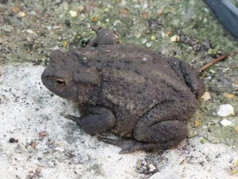 Common toad: warts and all!   Peter Orchard