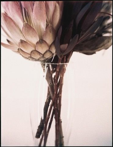 I just love proteas...alive and colourful or dead and grey...they are profoundly beautiful