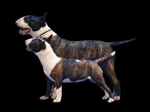 Diferencia de Bull Terrier y Mini Bull Terrier