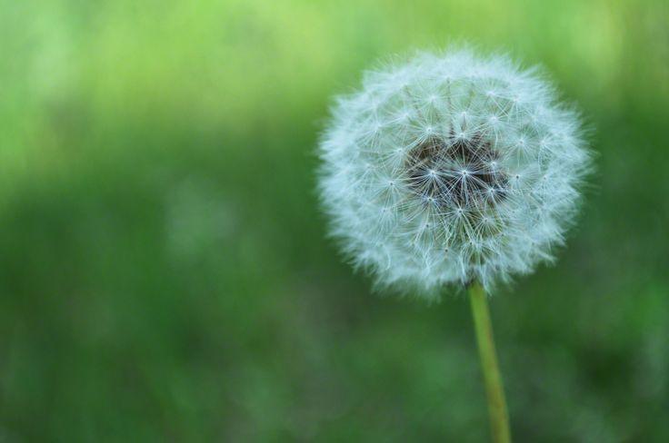dandelion-856275-print.jpg (1600×1062) | Background | Pinterest
