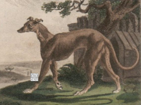 1797 Antique Greyhound Print, British Dog Engraving by NGArtPrints http://etsy.me/1uLOW8Y via @Etsy, #Etsy