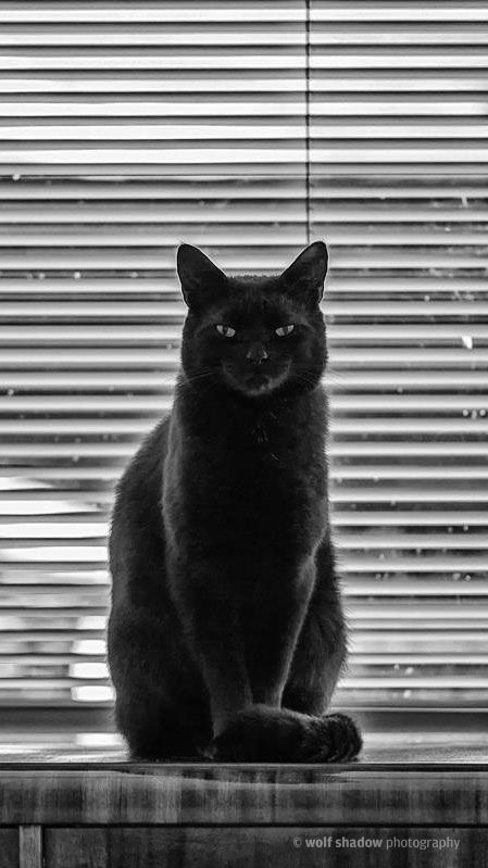 #blackcat #cat #wolfshadowphotography