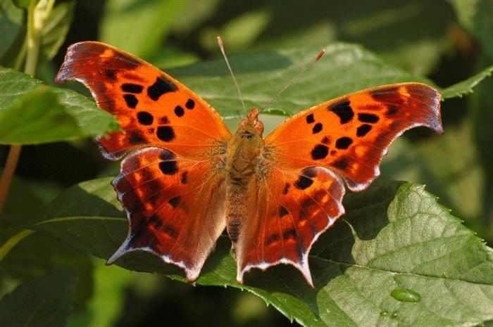 """Mariposas  La mariposa signo de interrogación habita en zonas amplias con vegetación densa. El nombre hace referencia a """"la línea plateada en la parte inferior que se rompe en dos partes, una línea curva y un punto, creando la forma de un signo de interrogación."""""""