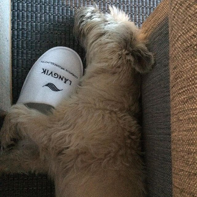 Jaaha,loma mielessä #hotellångvik #kylpylä#långvik #tossut#vili  #cairn #cairnterriersofinstagram  #terrieri#koira#dog#dreaming #langvikhotel http://www.langvik.fi/