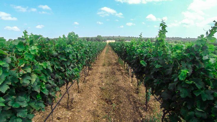 #vineyard #grapavine #puglia