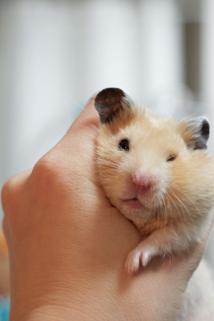 6 Types Of Most Popular Hamster Breeds Hamster Breeds