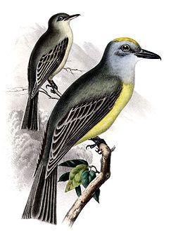 Tyrannus couchiiAQBIP11CA.jpgEl tirano silbador2 (Tyrannus couchii) es una especie de ave paseriforme de la familia Tyrannidae.1 Es un ave propio de América del Norte e América Central. No tiene subespecies reconocidas.2