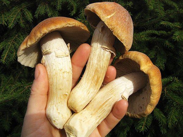 Колпак кольчатый. ГРИБНАЯ ЭНЦИКЛОПЕДИЯ. Определитель грибов