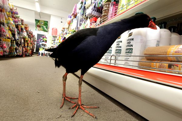 A little lost bird (pukeko) visited the National Bank in Blenheim, New Zealand before going shopping