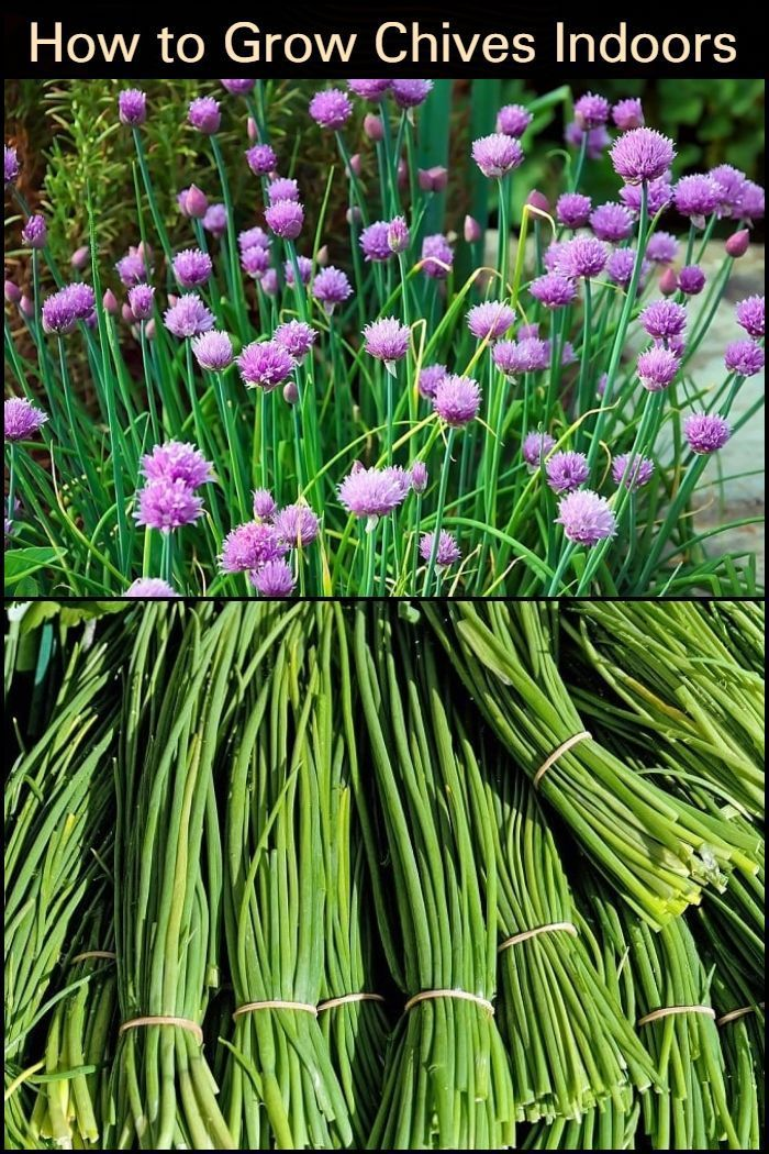 Chives A Versatile Garden Must Have The Garden Growing Chives Chives Plant Perennial Herbs