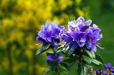Rhododendron Pflege – was musst Du beachten?