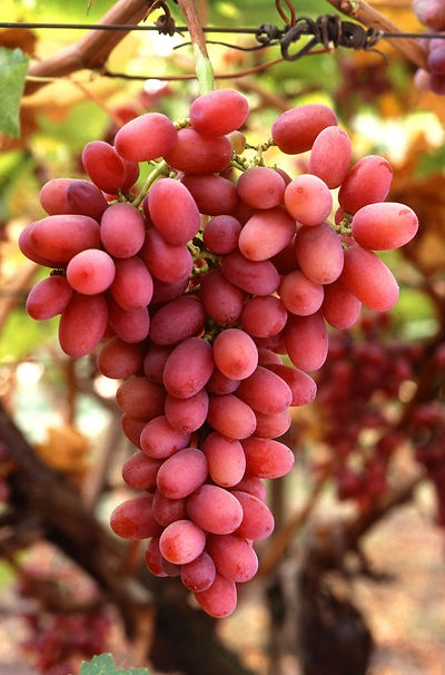 Red Simpson seedless grapes