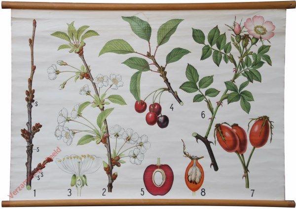 Vilhelm Balslev - Botanical School Chart Nr? - [Kers, Rozenbottel]