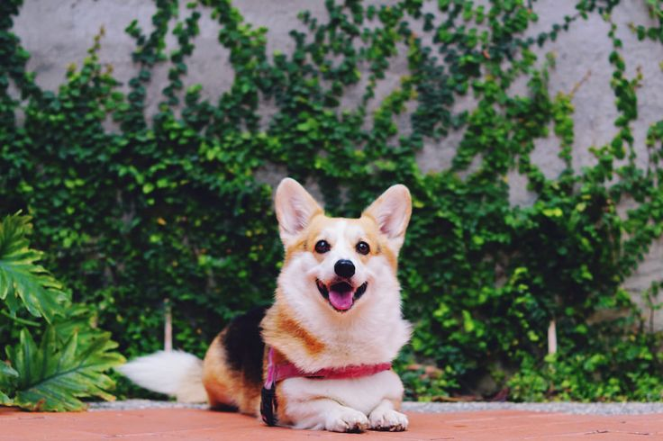 Kalani Kianna The Corgis On Instagram Tbt To Kianna At 11 Weeks Only 5 Days With Us And She Was Making Herself At H Corgi Dog Corgi Cute Dog Pictures
