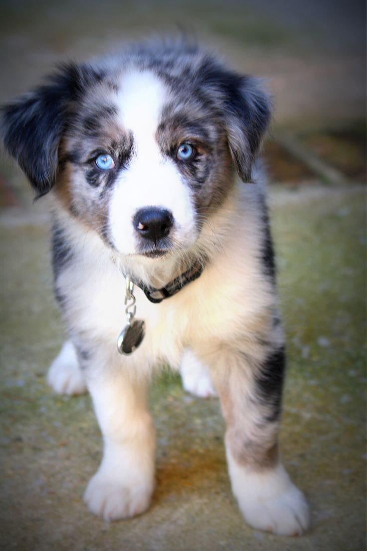 1000 images about dogs on pinterest border collies border collie puppies and australian shepherd. Black Bedroom Furniture Sets. Home Design Ideas