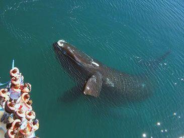 avistaje de ballenas en Puerto Pirámides. Patagonia