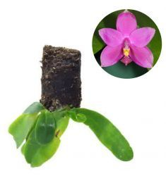 Phalaenopsis Violacea Rp 170,000