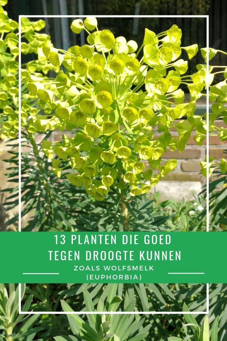 Hedendaags 13 planten die goed tegen droogte en droge grond kunnen - #die DH-11