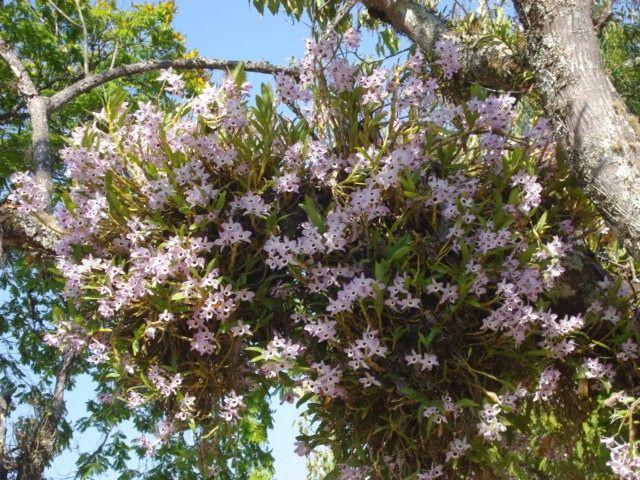 https://flic.kr/p/8DuC4h | Dendrobium nobile | Exuberante floração de Dendrobium nobile nas árvores do Parque das Águas de São Lourenço/MG em setembro de 2010.