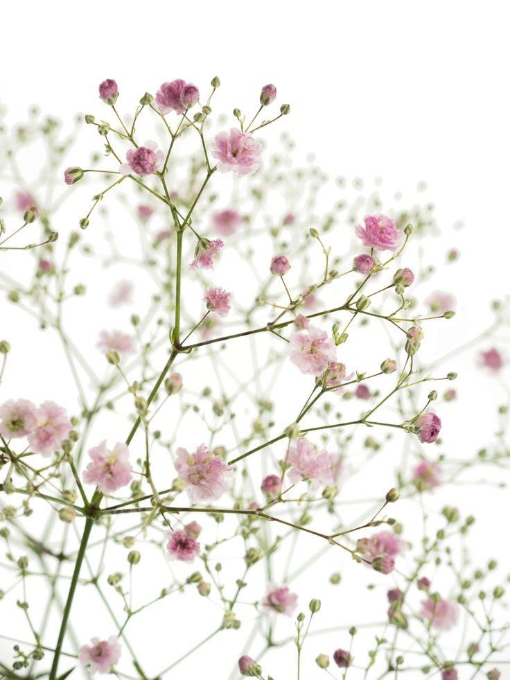 Pinkes Schleierkraut Der Sorte My Pink Jetzt Entdecken Auf Blumgio De Saison Im Januar Februar Marz Blumen Juni Hochzeit August Blumen September Blumen