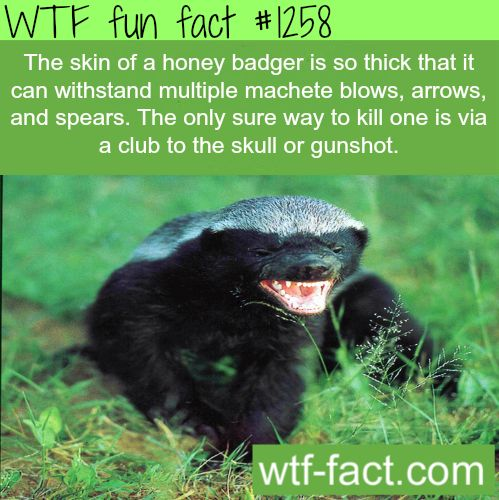 Honey badger doesn't give a f***  the skin of a honey badger is so thick that it can withstand multiple machete blows, arrows, and spears. The only sure way to kill one is via a club to the skull or gunshot.