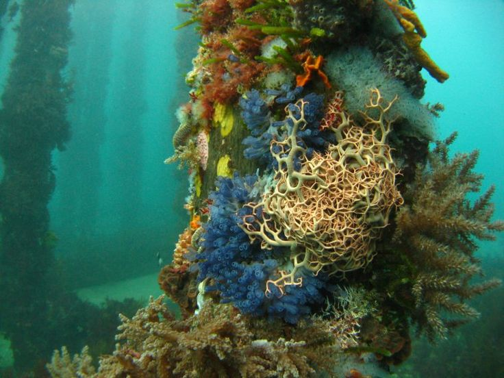 This cold water sea garden is off the coast of Australia's Yorke Peninsula. A basket star is surrounded by blue ascidians, sponges, and algae. Photo by Daniel Gorman