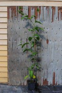 Punapassio - Passiflora edulis  Trooppiset hyötykasvit huonekasveina - kasvit ovat kaupasta ostettujen hedelmien siemenestä kasvatettuja.