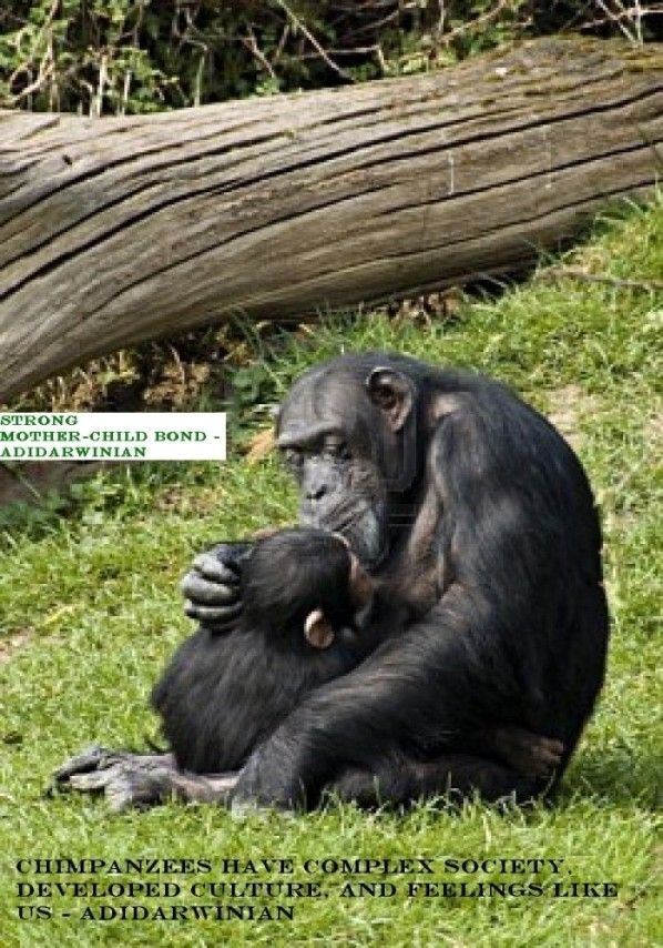 Stunning Facts About Chimpanzees - You Cannot Afford To Miss!!