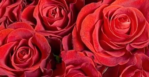 Roses, roses, roses...