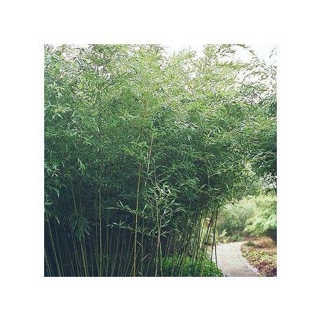 1000 id es sur le th me haie bambou sur pinterest jardiniere pour bambou haies et cl ture - Engrais pour bambou ...