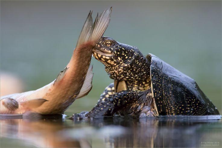Toter Fisch - ein Leckerbissen für die Europäische Sumpfschildkröte!
