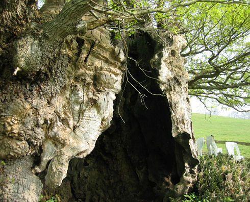 O carvalho Rainha Elisabeth (detalhe). Esta árvore antiga é inteiramente oca e tem uma coroa muito baixa. A forma da coroa é provavelmente o resultado do fato de que esta árvore poderosa tenha sido podada drasticamente, há séculos atrás, pelo menos uma vez. Por causa disso, a beleza dessa árvore é menos apreciada do que a de Majestade, um grande carvalho inglês (Quercus robur), que nunca foi podado.  Fotografia: Tim Bekaert.