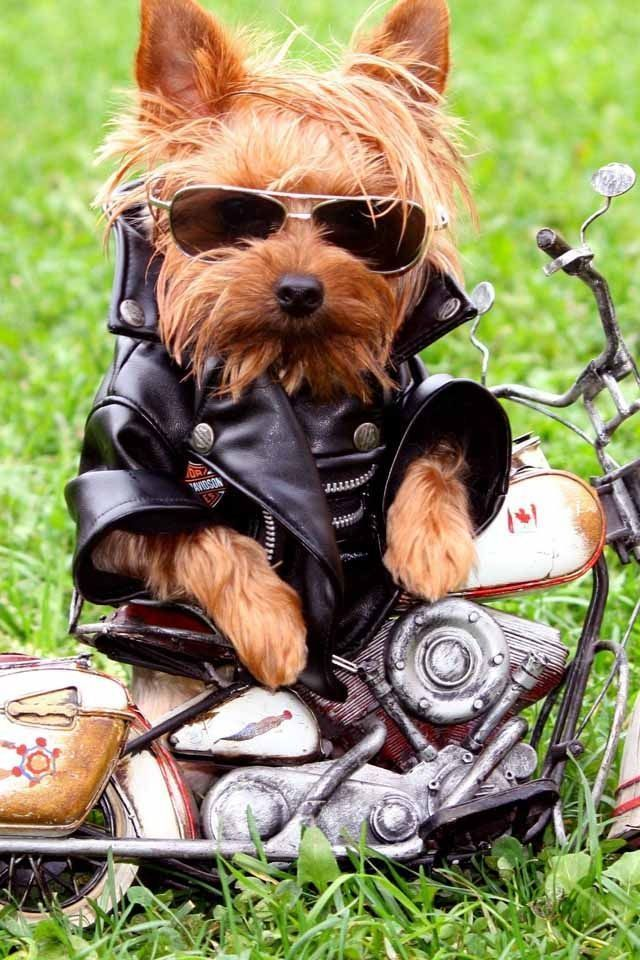 Harley Davidson Motorcycle Cutie Yorkshireterrier With