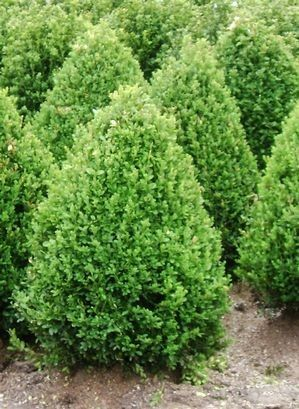 Green Mountain Boxwood, evergreen, sun to shade, matures to 5'H x 3'W. Ours bought at Westlake Hardware in 2012, planted in shade area by the front door. (former dwarf alberta spruce {died} location, that got too shady.)