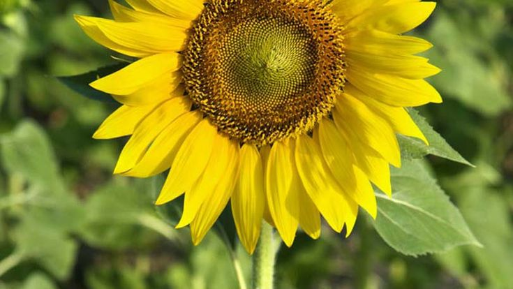 Position the sunflower in the center of the hole and cover with soil. Pat gently so the soil is firm and will keep sunflower in place.