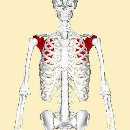 35 Best Scapula Anatomy Images On Pinterest Anatomy Reference