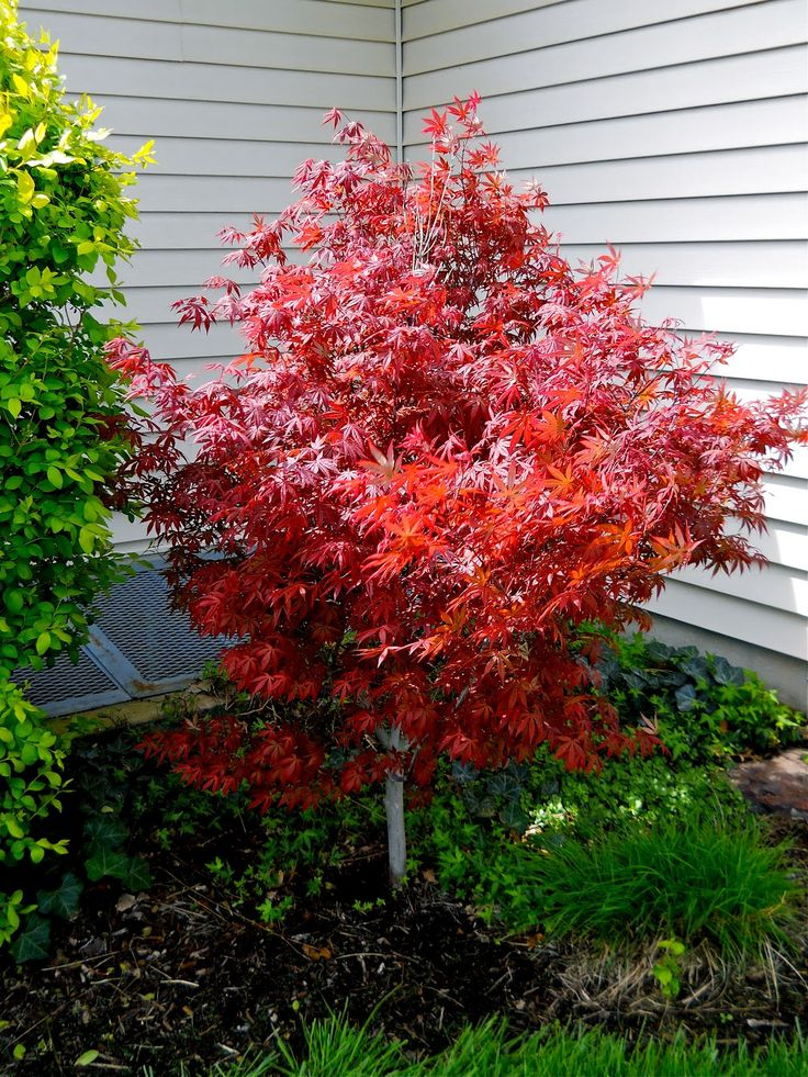 Dwarf japanese maple tree yahoo image search results for Maple trees for small gardens