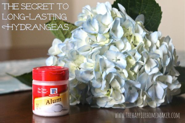 Tutorial -- How to keep hydrangeas fresh in the vase for days with alum that you can find in the spice section of your supermarket! Enjoy from #KnittingGuru http://www.pinterest.com/KnittingGuru