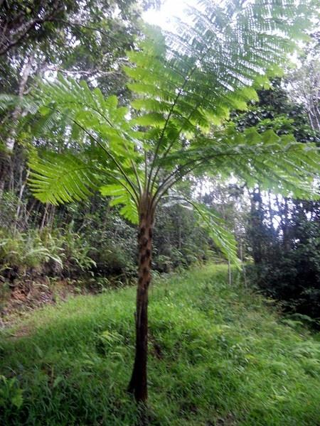Les plantes de la Nouvelle Calédonie: les grandes fougères
