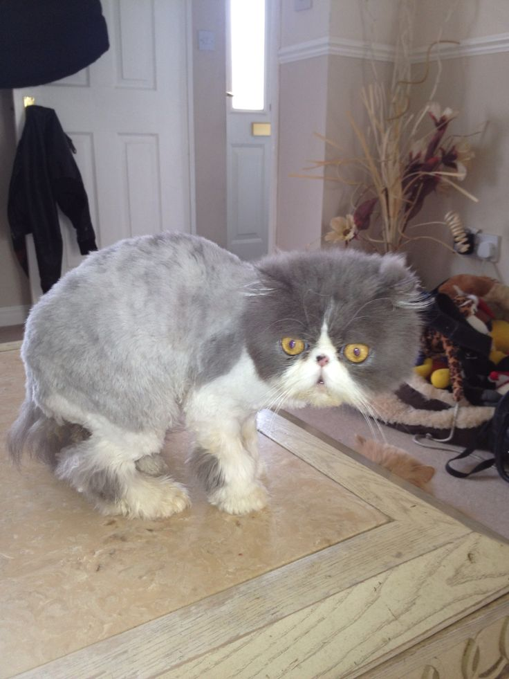 Shaved Persian Cat 84