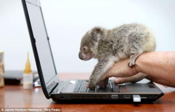 Baby Koala along for the ride. OMG I WANT ONE