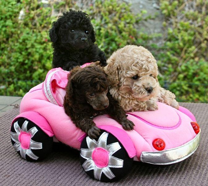 Domino Poodles: Poodles California, Poodles for sale, Parti Poodles ...