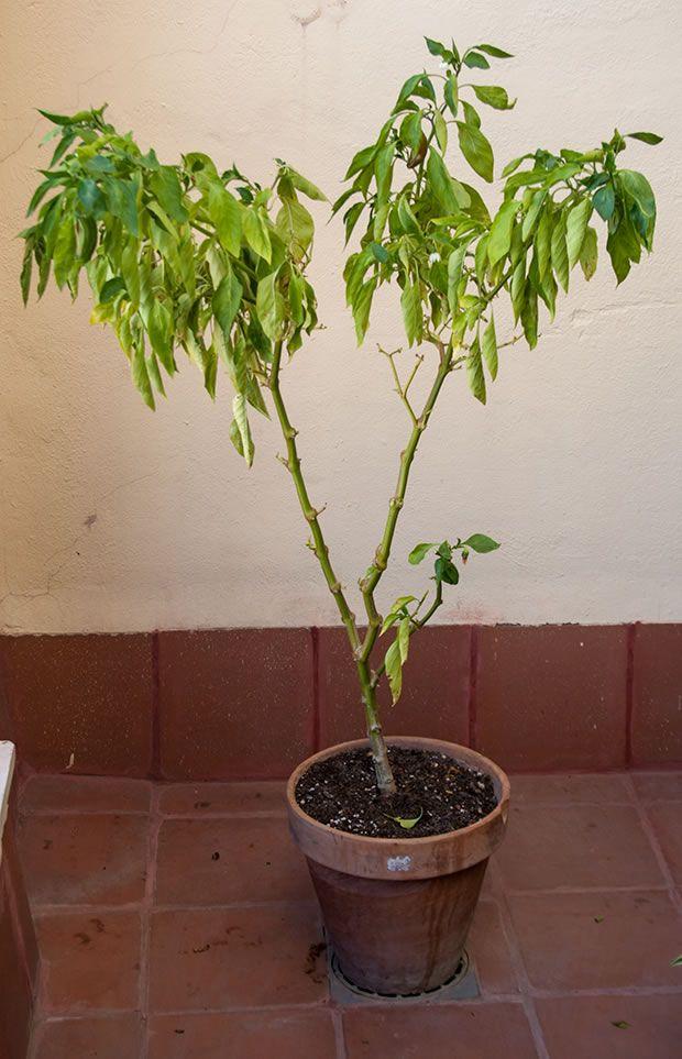 Cómo Cultivar Pimientos De Freír En Una Maceta Plantar Pimientos Cultivar Huerto En Casa