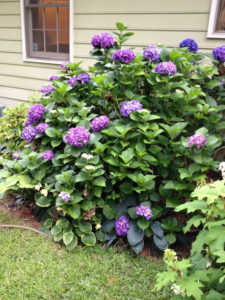 Hydrangea - Merritt Supreme | HOME: Front Yard | Pinterest ...
