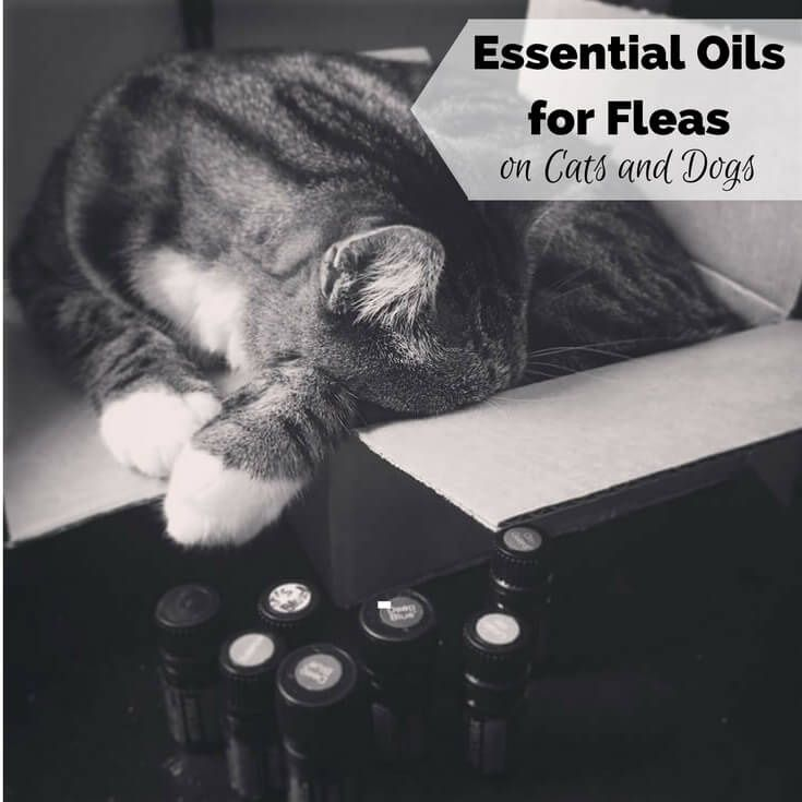 I have one dog (a cute sausage dog called Penny), and two cats. So I know a thing or two about fleas. I love my pets, and all animals, and hate seeing them with fleas. I started to use essential oils for fleas on my pets a couple of years ago and it's been a …