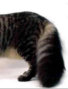 Tips Mudah Mengenali Ciri-Ciri Kucing Persia Asli atau palsu   DUNIA HEWAN