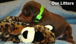 european doberman puppies for sale in USA